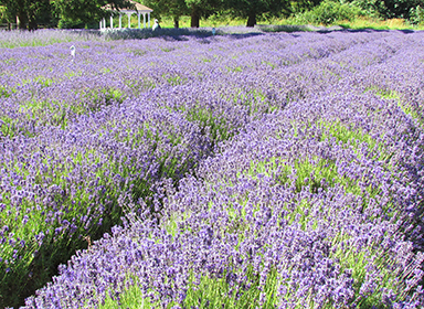 Lavender Weekend 2016