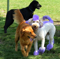 Purple Dog Playing