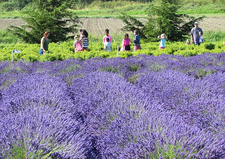 Sequim Lavender Festival 2020.2019 Lavender Farm Festivals And Events Sequim Tourism Wa