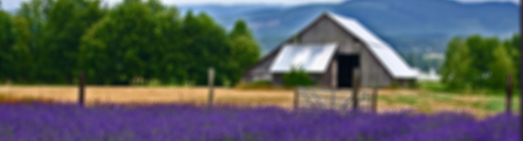 Sequim Lavender Weekend   Sequim Tourism, WA - Official Website