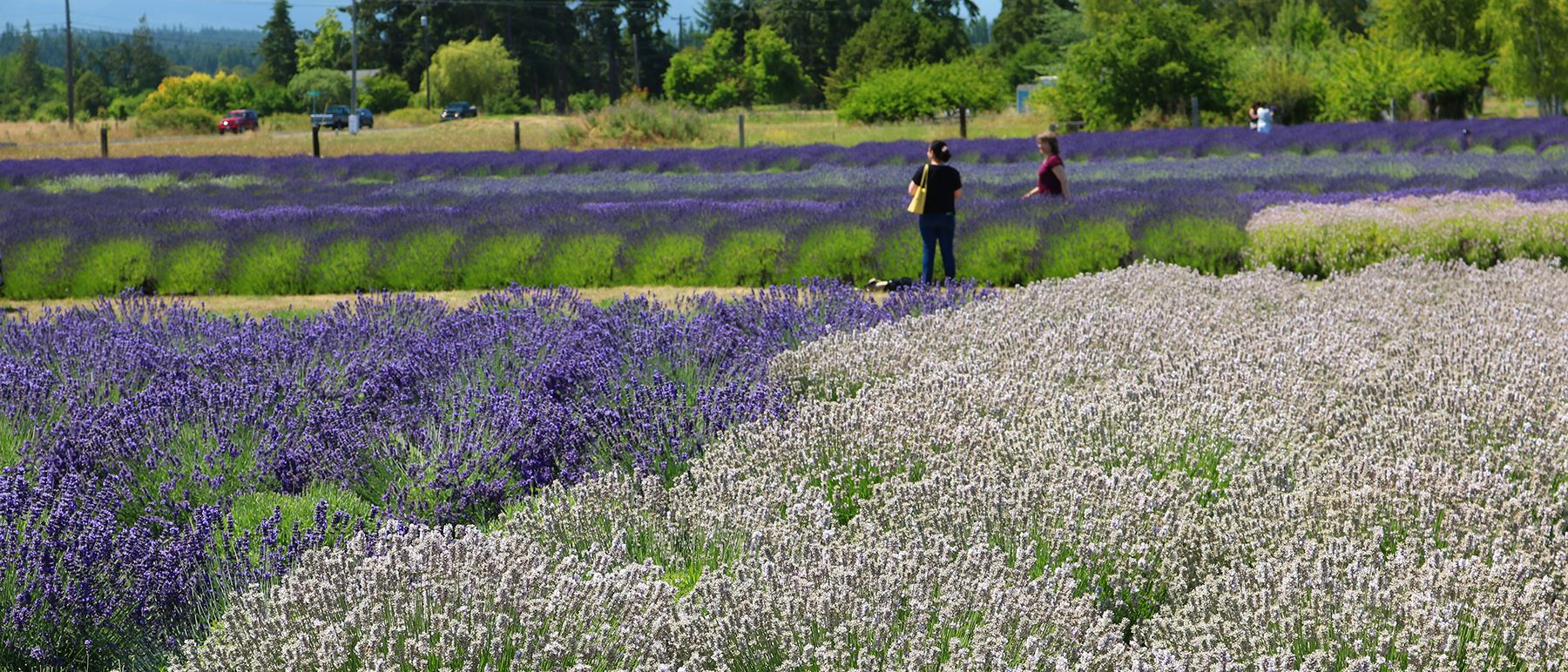Surrounded by natural beauty and full of small-town charm, Sequim is a popular destination for outdoor enthusiasts and lavender lovers and is one of the driest places in western Washington.  An active