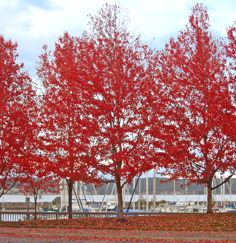 Fall trees at the Marina