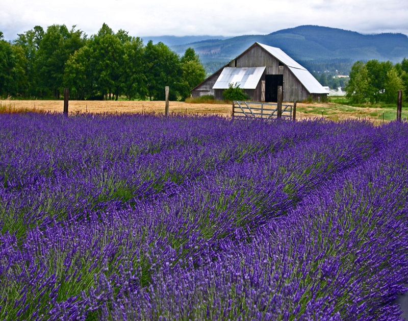 lavender field and barn