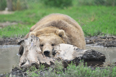 grizzly bear lying on drift wood