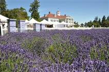 Washington Lavender Festival is in the Sequim Valley of Washington State