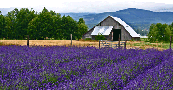 lavender with barn